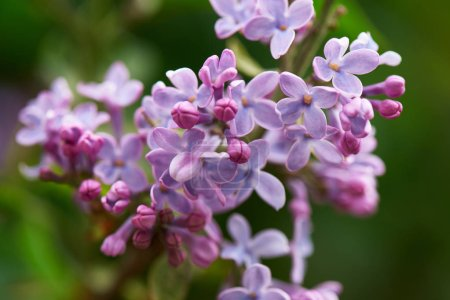 close-up view of beautiful blooming lilac branch, selective focus