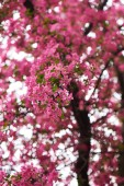 beautiful pink almond flowers on branches, selective focus