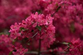 beautiful bright pink almond flowers on branches, selective focus