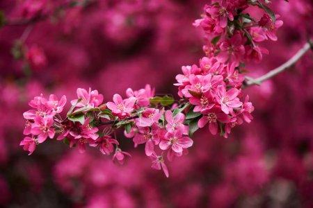 Photo pour Vue rapprochée de belles fleurs d'amande rose vif sur la branche - image libre de droit
