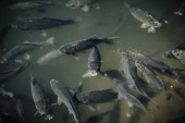 high angle view of flock of black carps swimming in pond