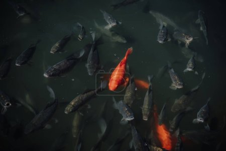 high angle view of flock of red and black carps swimming in water