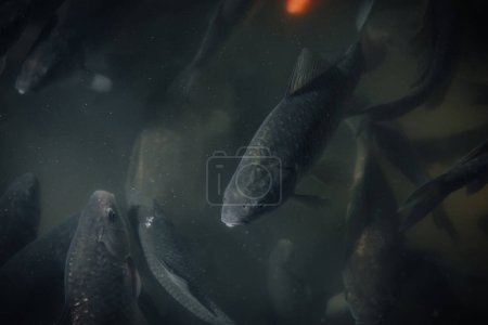 close up view of flock of black carps swimming underwater