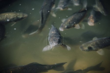 selective focus of flock of black carps swimming underwater