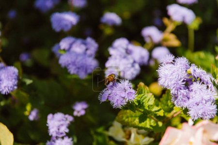 selective focus of bee on hydrangea flowers