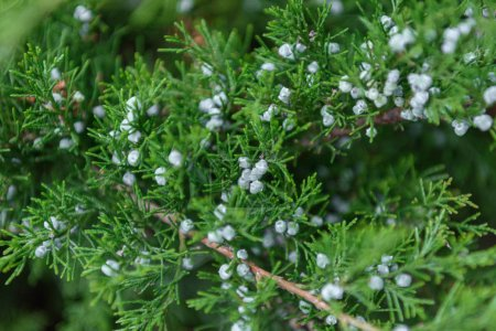 selective focus of cypress green branches with cones