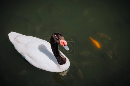 elevated view of swan swimming near flock of fishes in pond
