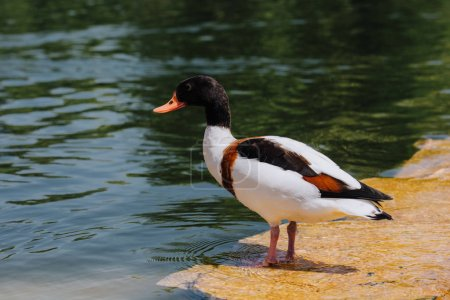 selective focus of duck standing on shallow water