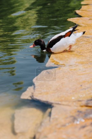 selective focus of duck submerging in water