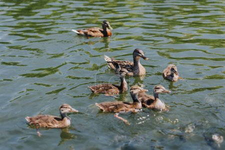 selective focus of flock of duckling with mother swimming in pond