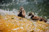 selective focus of two ducklings standing in water