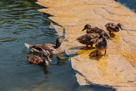 selective focus of flock of ducklings with mother in water