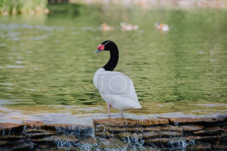 selective focus of beautiful white swan with black neck standing in water