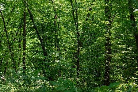 Photo pour Vue panoramique de tress vert avec la lumière du soleil en forêt - image libre de droit