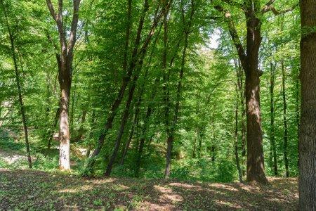 Photo pour Vue panoramique des arbres dans la forêt pendant la journée - image libre de droit