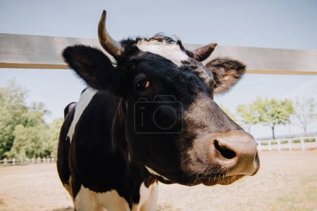 close up portrait of black and white cow standing at farm