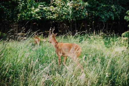 Rückansicht von Hirschen, die im Gras in Waldnähe spazieren