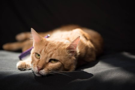 adorable red cat lying and looking at camera in darkness