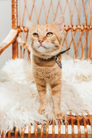 adorable red cat standing on rocking chair and looking up