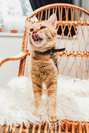 cute red cat standing on rocking chair and licking muzzle