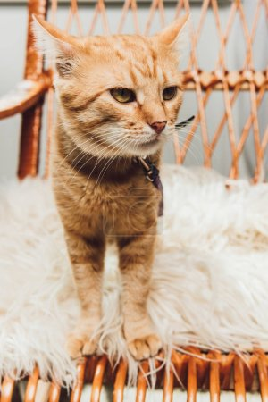 close-up view of cute red cat standing on rocking chair