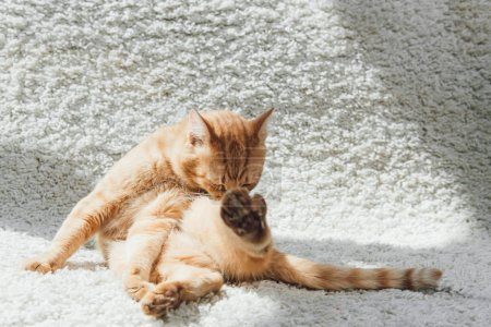 cute funny red cat sitting on white carpet and licking paw