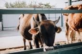 """Постер, картина, фотообои """"красивые внутренние теленка, едят в стойле на ферме"""""""