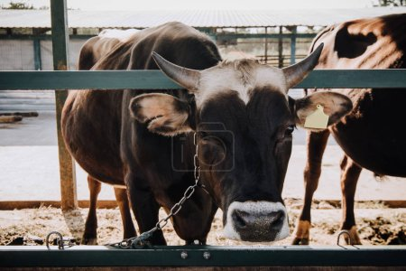 portrait of domestic beautiful cow standing in stall at farm