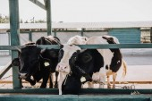 beautiful domestic cows standing in stall at farm