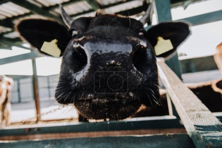 close up view of muzzle of adorable calf standing in barn at farm