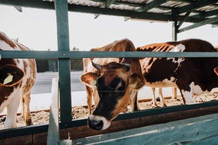 belles vaches domestiques mangeant dans la grange à la ferme