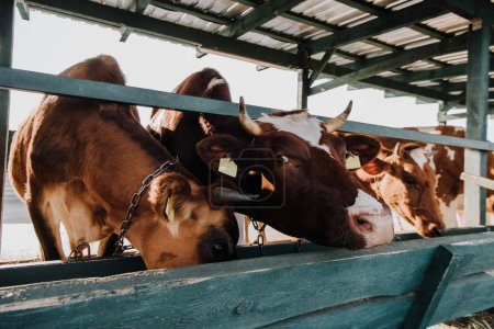 brown domestic cows eating in stall at farm