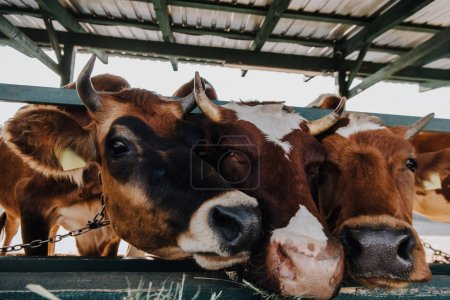 domestic brown cows eating hay in barn at farm