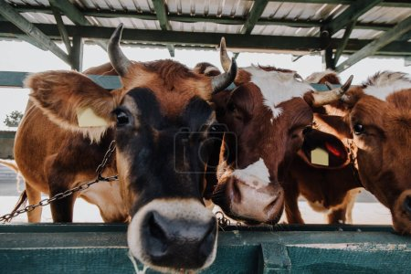 close up portrait of domestic beautiful cows standing in stall at farm