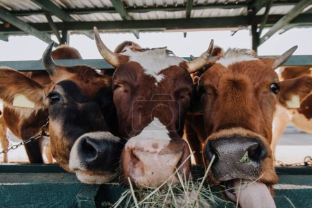 brown domestic beautiful cows eating hay in stall at farm