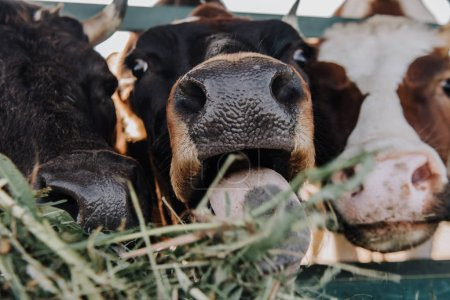 close up view of domestic beautiful cows eating hay in barn at farm
