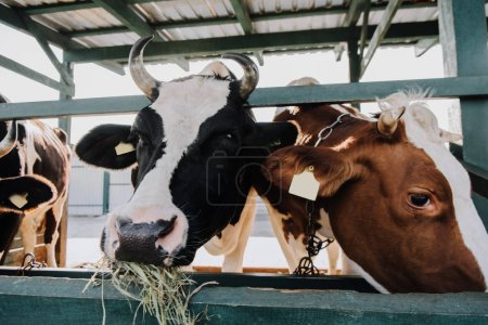 domestic beautiful cows eating hay in stall at farm