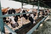 beautiful domestic cows eating hay in barn at farm