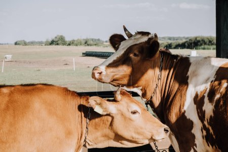 brown domestic cows standing in stall at farm