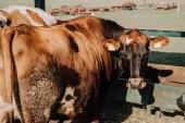 """Постер, картина, фотообои """"коричневый внутренние коров, стоя в стойле на ферме"""""""