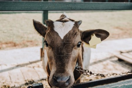 portrait of adorable little calf standing in barn at farm
