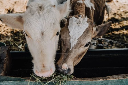 little domestic calves eating hay in stall at farm