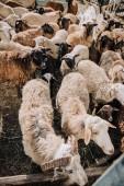 """Постер, картина, фотообои """"высокий угол зрения стадо пасущихся очаровательны коричневый овец в загон на ферме"""""""
