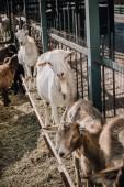 """Постер, картина, фотообои """"козы, стоя возле металлический забор в Коррале на ферме"""""""