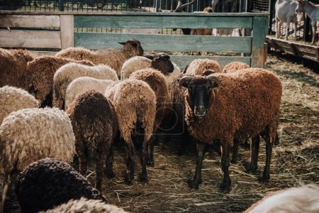 herd of brown sheep grazing in corral at farm