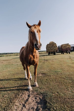 rural scene with beautiful brown horse grazing on meadow at farm