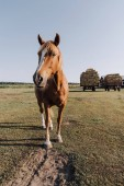 rural scene with beautiful brown horse grazing on meadow at ranch