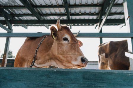 brown domestic cow standing in stall at farm