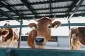 """Постер, картина, фотообои """"Портрет стоял коричневый внутренних красивые коровы в стойле на ферме"""""""