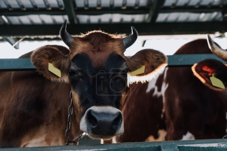 selective focus of brown cow standing in stall at farm